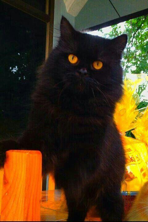 998 Best Black Cats Images On Pinterest Black Cats Black Kittens