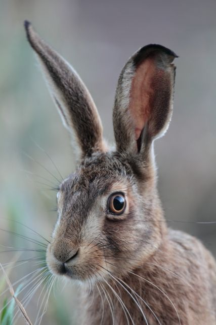 brown hare by kevinsawford - #rabbit #hare #photograph | pinned by www.amgdesign.nz