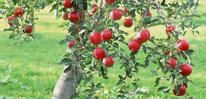 """""""Am stropit pomii fructiferi din curte cu acest amestec și nu au mai fost atacați de boli"""""""