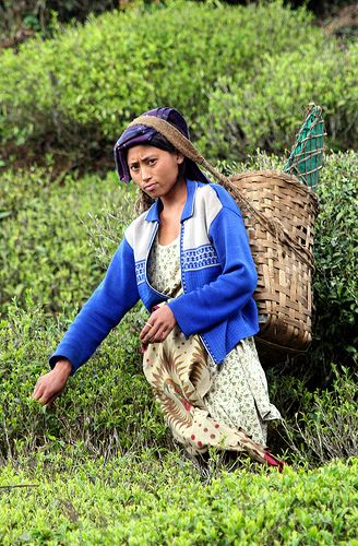 Tea picker in Darjeeling, India - the basket is on her back but much of the weight seems to be taken via the strap on her head.