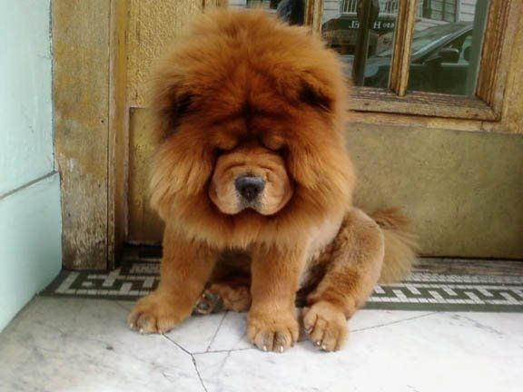 Chow chow puppy. Aww I miss my sweet doggie Sonia, she passed away last year. She was a red chow.