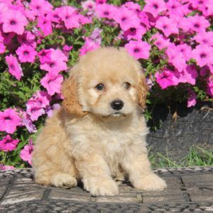 Cockapoo Puppies For Sale In DE MD NY NJ Philly DC and Baltimore