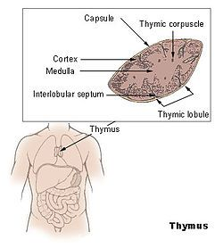 About your thymus