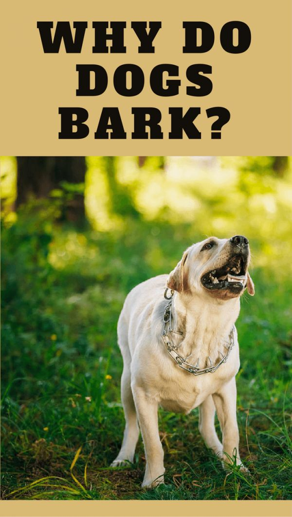 Dogs are descended from wolves, and wolves don't bark. So why do dogs bark? It's an important form of communication so let's see when and why they bark. #doggo #LabradorRetriever #DogTraining
