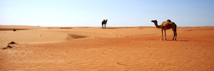 http://500px.com/photo/190491991 Kamele by Archko -Kamele in der Sandwüste im Oman.. Tags: naturesanddesertlonelinesscameloutdoorsadventureNaturSandLandschaftKameleOmanKamelWüsteEbeneSandwüste