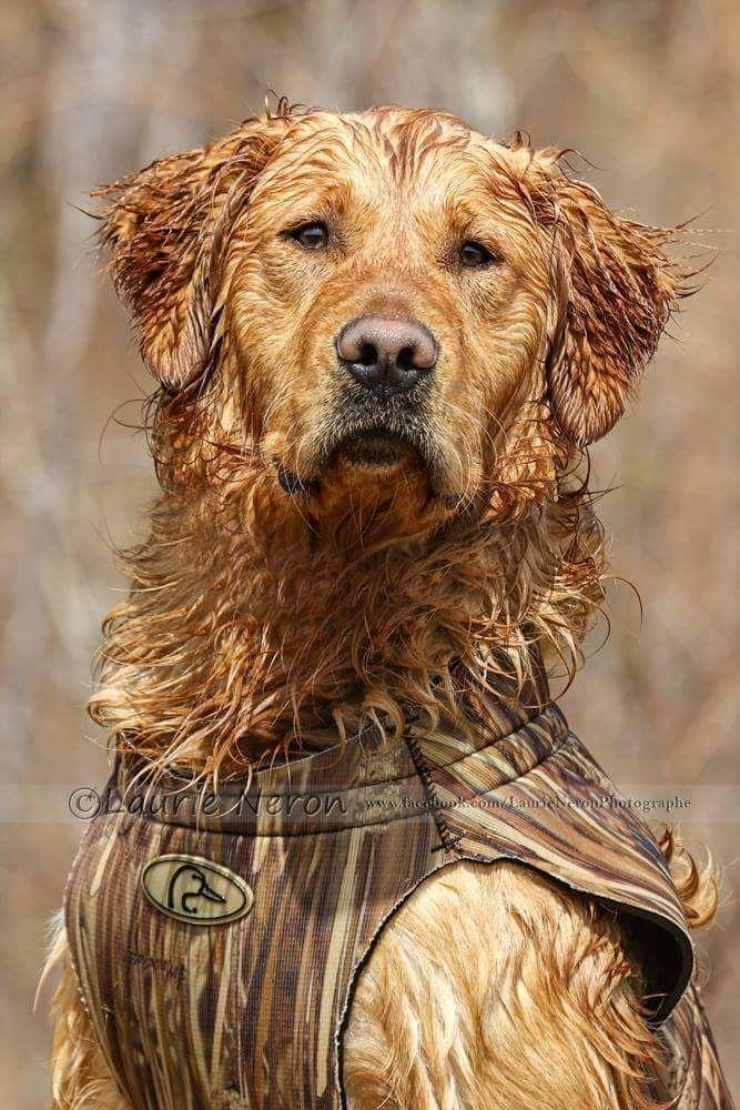Dog Training Commands Dogtrainingcommands Dogs Golden Retriever