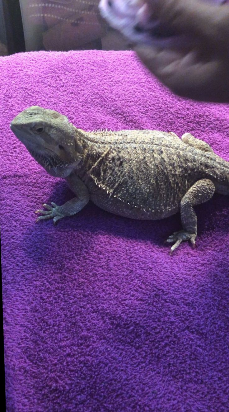 20+ Cute Stuff Videos Clothes Baby bearded dragon