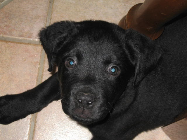 Pictures Of Black Lab Mix Dogs