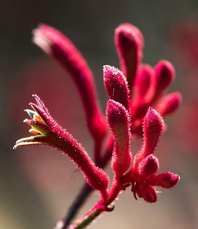 #sandiego #sandiegobotanicgarden #encinitas #kangaroopaw #kangaroo #paw #red #zoomin #closeup #upoutsd #socal #southerncalifornia #spring #outdoors #botanic #ig_sandiego #canon #canonusa #teamcanon #sandiegoconnection #sdlocals #encinitaslocals - posted by Dean https://www.instagram.com/socalsphoto. See more post on Encinitas at http://encinitaslocals.com