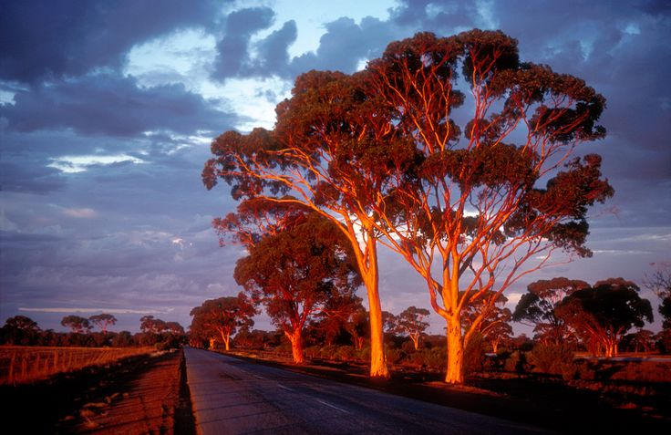 CSIRO ScienceImage 4429 Salmon Gums at sunset in the Western Australian wheatbelt near Bruce Rock WA 1981.jpg