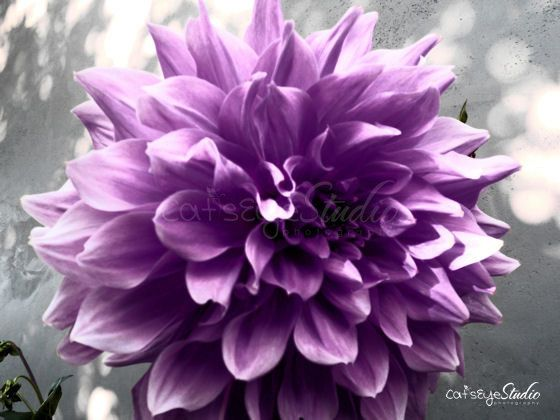 "Purple Dahlia Photography, Purple and Gray Flower Photo, Floral Print- ""Purple Dahlia"" 8x10 Photo Print"