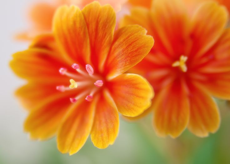 3840x2743 lewisia flowers 4k high quality wallpaper