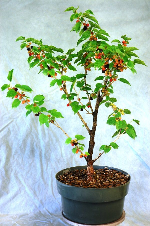 mulberry in pot 7