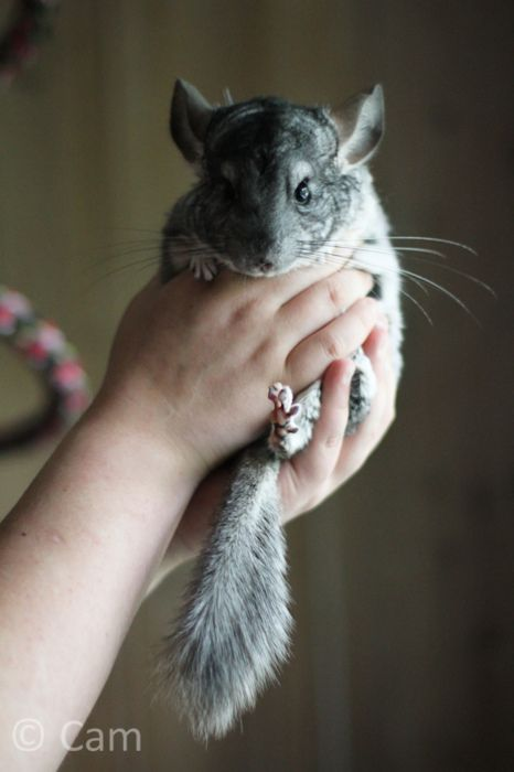 Chinchilla! with the cute wittle feets ^_^