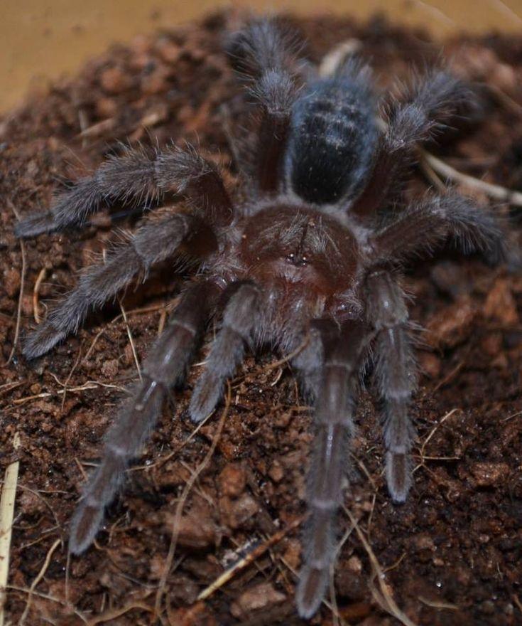 Brazilian Black Tarantulas Medium Tarantulas for sale