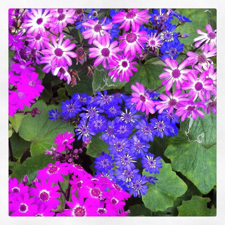 #flores de #invierno en #ViñadelMar #Chile #flowers  Iphone camera + instagram