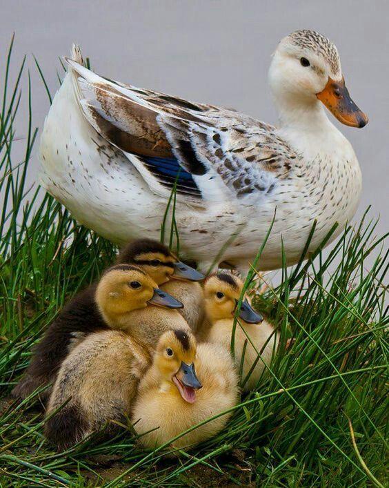 ducks. ❤