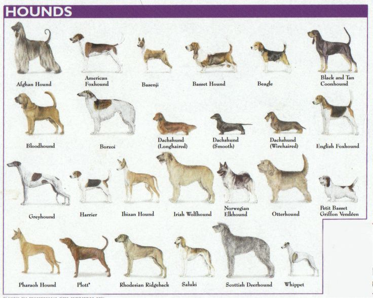The 7 #Dog #Breed Groups Explained - Hound Group: All hound breeds pursue warm-blooded quarry. The sleek, long-legged sighthounds use explosive speed and wide vision to chase swift prey, like jackrabbits and antelope. Tough, durable scenthounds rely on their powerful noses to trail anything from a raccoon to an escaped convict.