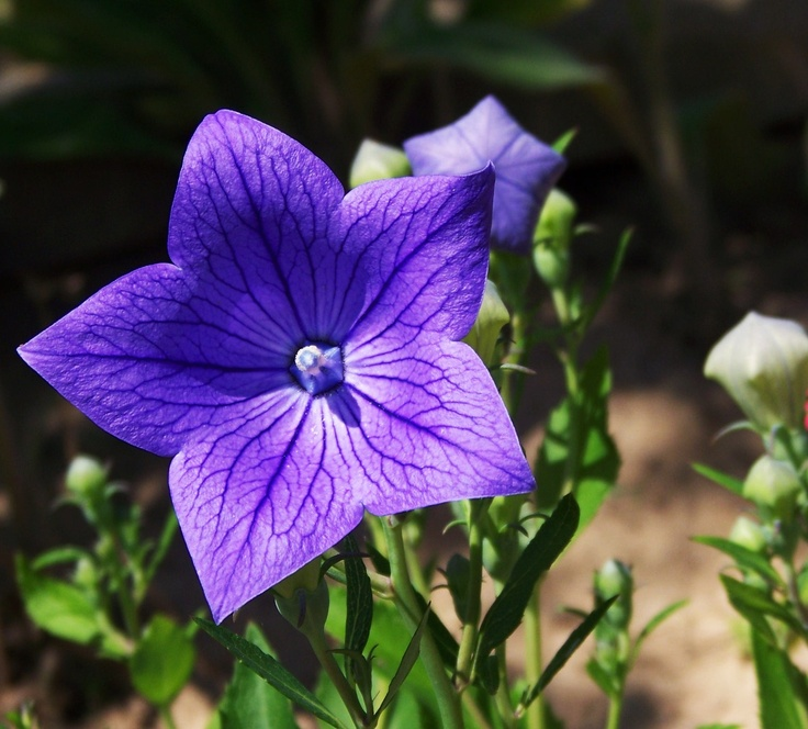 blue balloon flower - favorite perrenial! I planted these last year and I can't wait to see them this year!