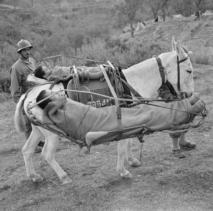 Medical evacuation, WW2 style: Moroccans serving with the Free French during the campaign in Italy, 1943-44, use supply mules to transport their wounded to forward dressing stations. The Moroccans covered a mountainous location, with the mules bringing in supplies and ammunition and, on the return journey, helping with moving the wounded.