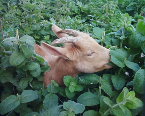 10 Things NOBODY Tells You About Goats UNTIL IT'S TOO LATE!!! #goats #homestead