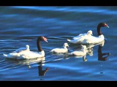 Cisne cuello negro -- Basilio - YouTube