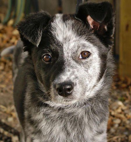 Bonzai the Mixed Breed -- Australian Cattle Dog / Border Collie