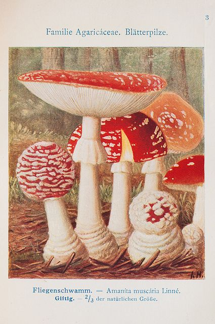 ♥ Amanita muscaria-commonly known as the fly agaric or fly amanita, is a poisonous and psychoactive basidiomycete fungus, one of many in the genus Amanita
