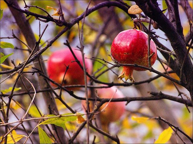 Pomegranate  Tree.......need one!!
