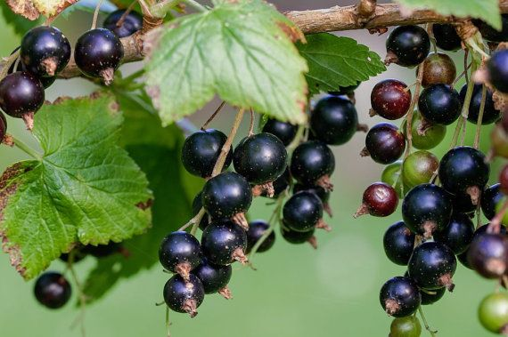 Black Currant Berry Fruit Seeds Bush Home Garden Plants Edible Vegetables Heirloom Penerials Decor DIY  PLANT TYPE: Perennial SCIENTIFIC NAME: Ribus nigrum ZONE / HARDINESS: Hardy to zone 2 MATURE PLANT SIZE: Average up to 6 feet high LIGHT: Sandy Loam to Some Clay FLOWERING PERIOD: Mid Spring to Early Summer SOIL TYPE: Well-drained, fertile soil pH RANGE: 4.8 to 7.0 KNOWN PESTS: Aphids and red spider mites KNOWN DISEASES: Mildew and leaf spotting diseases OVERVIEW: Black currant bushes need…