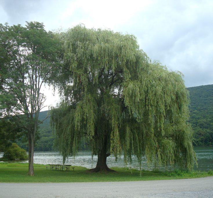 Salgueiro-chorão (Salix babylonica) no Parque Estadual da Águia, em Howard, Liberty e Marion, condado de  Centre, estado da Pensilvânia, USA.  Fotografia: Beyond My Ken.