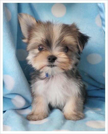 """""""Morkie"""" - Maltese Yorkie  I want one! <3"""