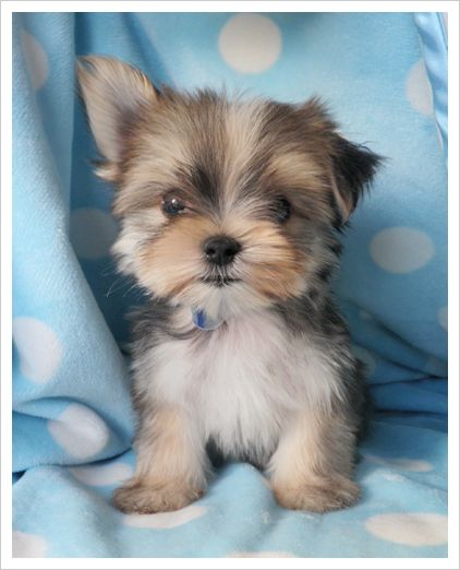 yorkie and maltese morkie oh my the cutest maltese and yorkie mix 4915