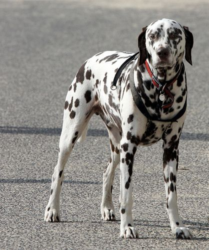 ...the very biggest spotty dog you ever did see!  Does anyone else remember The Woodentops on Watch with Mother teatime television?  This is my entry for the 23. Spots or Dots category in the 52 in 2014 Group.   Best Dog Coverage! http://www.offers.couponrainbow.com/embrace-pet-insurance/