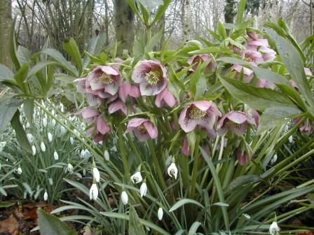 Hellebores and snowdrops.  Hellebores are on my list of flowers to try.
