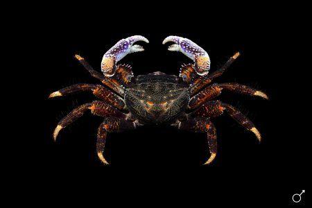 Goniopsis pelii #sealife #marinelife #crab #ocean #planetearth