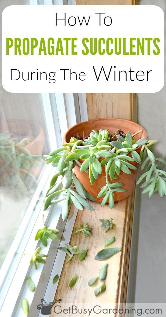 Summer is the best time to propagate succulents, but can you propagate succulents in winter? Yes! Try this easy method for propagating succulents in winter. #indoorgardening #propagation #succulents #getbusygardening