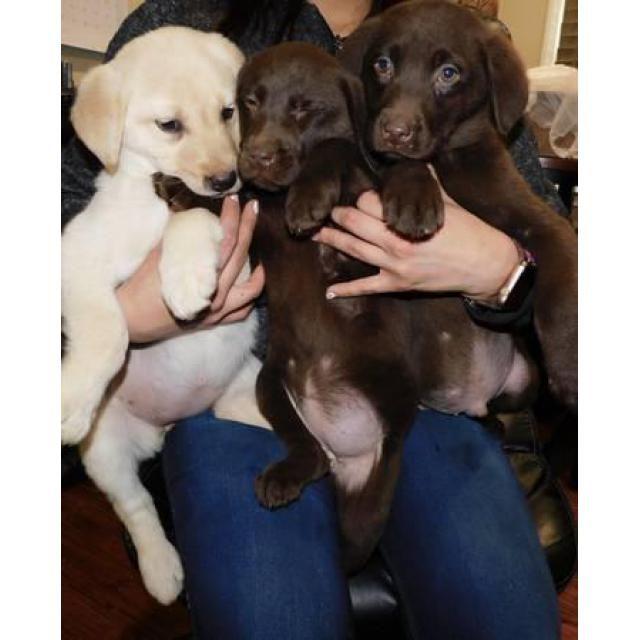 Labrador Retriever Glenarden Cute Labrador Puppies For Sale Two