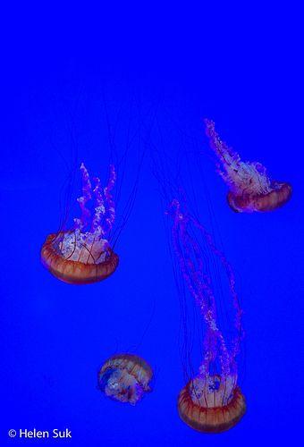 ripley's aquarium of canada, ripleys aquarium toronto, ripley aquarium Toronto, aquarium canada, aquarium Toronto, toronto aquarium, aquariums canada, ripley's aquarium of canada tips, ripleys aquarium, when to go to ripleys aquarium canada, pacific sea nettle