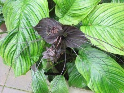 bat-flower (bat Orchid)