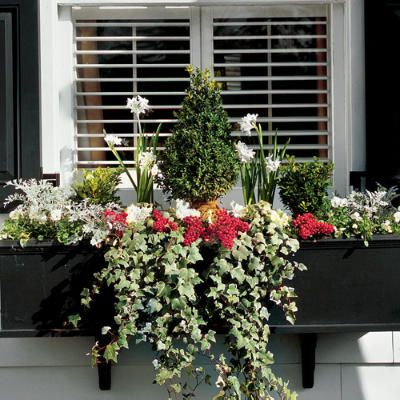 In this window box, a tall pyramid-shaped boxwood serves as the anchor plant. To each side, a small, round boxwood repeats the texture and fills the container with substantial foliage. Accent the green with bright red nandina berries gathered from the yard.    *What's planted: boxwoods, paperwhites, green-and-white flowering cabbages (in 4-inch pots), silvery dusty miller, white violas, green & white ivy, & red nandina berries