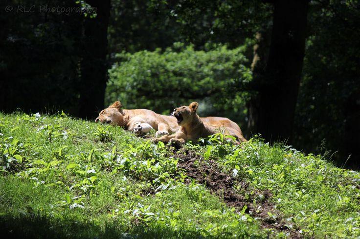 https://flic.kr/p/qPo8oz | Longleat Zoo | July 2013
