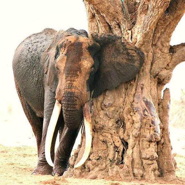 "#SaveElephants #ExtinctionIsForever One of Kenya's last #tusker #elephants has been killed by poachers, conservationists have said. Satao II's body was found during a routine aerial reconnaissance by the Kenyan Wildlife Service (KWS) near the Voi river in #TsavoEast National Park, according to the Tsavo Trust, a non-profit conservation group which helps manage the park. While the cause of death is unknown, the trust said it was ""believed to be from poisoned arrow""…"