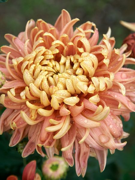 Football Chrysanthemum 'Homecoming' - progresses from burnished salmon to soft peach ending with creamy yellow.