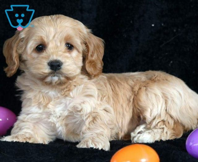 Cockapoo Puppies For Sale Puppy Adoption Keystone Puppies