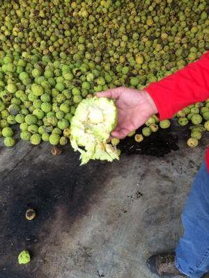 Hedge Balls: Iowa's Newest Cash Crop | Iowa Public Radio