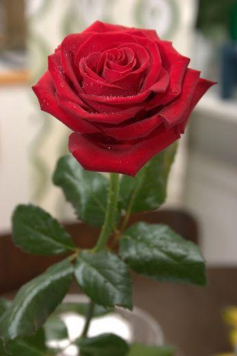 Rosa_Roja … | tere de consiglieri | Beaut…