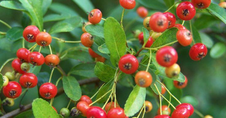 Tipos de árboles de bayas rojas. Las hojas Verdes son habituales en la mayoría de los árboles, pero las bayas rojas entre la frondosa vegetación son una buena ráfaga de color inesperada. La mayoría de los árboles que lucen racimos de bayas color rubí no ofrecen una recompensa comestible, pero las ramitas coloridas alegran el simple verdor de los árboles. Una variedad de árboles ...