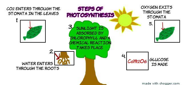 What are the process of photosynthesis?