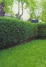 Ligustrina, Aligustre de California, Troanilla      Búsqueda personalizada .                         Ligustrina, Aligustre de California, Troanilla Ligustrum ovalifolium  .    Foto de Ligustrina, Aligustre de California, Troanilla - http://www.silvanus.hu/ (seto) - http://www.baumschule-horstmann.de/ (hojas)   - Nombre científico o latino: Ligustrum ovalifolium - Nombre común o vulgar: Ligustrina, Aligustre de California, Troanilla.  - Familia: Oleaceae.  - H 1,50-2 m. Diámetro 80 cm…